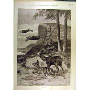 1895 Roe Deer Caldwell Ducks Wild Animal Game Print