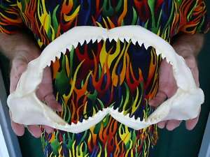 GALAPAGOS SHARK jaw sharks jaws teeth taxidermy strange SJ110 20