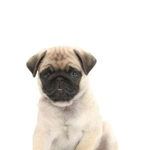 Wallpaper 4Walls Animals Puppy Love Pug KP1196SA: Home