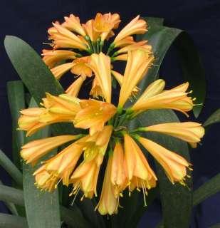Gardenii Ngome Yellow X Ngome Yellow Clivia Seedling Plant (KZN