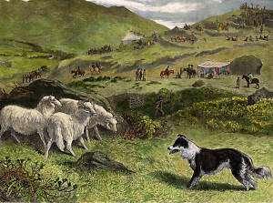 Border Collie Sheepdog Trials Dog And Sheep Print