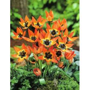 Little Princess Botanical Tulip   10 bulbs Patio, Lawn & Garden