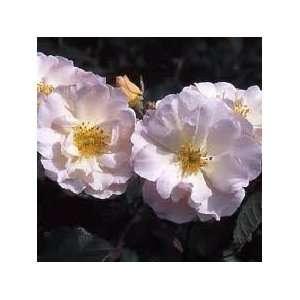 10 Penelope Rose Seeds Everything Else