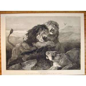 Lions Fighting Hardy Royal Academy Fine Art 1873 Print: Home & Kitchen
