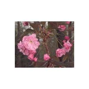 Okame Flowering Cherry Tree, 28 38 Inch Patio, Lawn