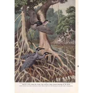 1949 Tellow Crowned Herons Night herons black crowned herons   Walter