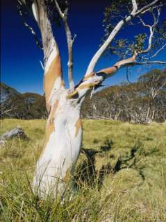 Snow Gum Tree Trunk Showing Bark Coloration Photographic Print by