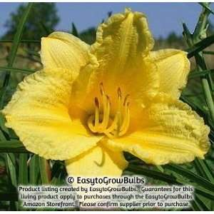 Daylily Happy Returns   1 bare root plant   3/5 fan Patio