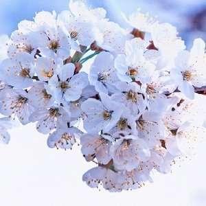 Cherry Blossom Type home fragrance oil 15ml Everything