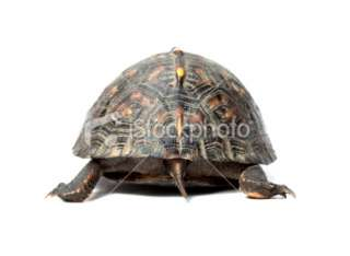 Rear view (behind) of baby box turtle Royalty Free Stock Photo